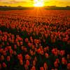 Sunset Showcases Emperor Tulips