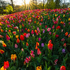 Fields Of Tulips Looking Into Sunset