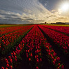 Convergence Of Tulip Field
