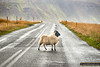 Sheep have right of way in Iceland!