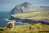 A sheep in Summer dress sits atop the cliffs of Vestmannaeyar