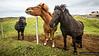 Friendly Icelandic horses, Vestmannæyjar