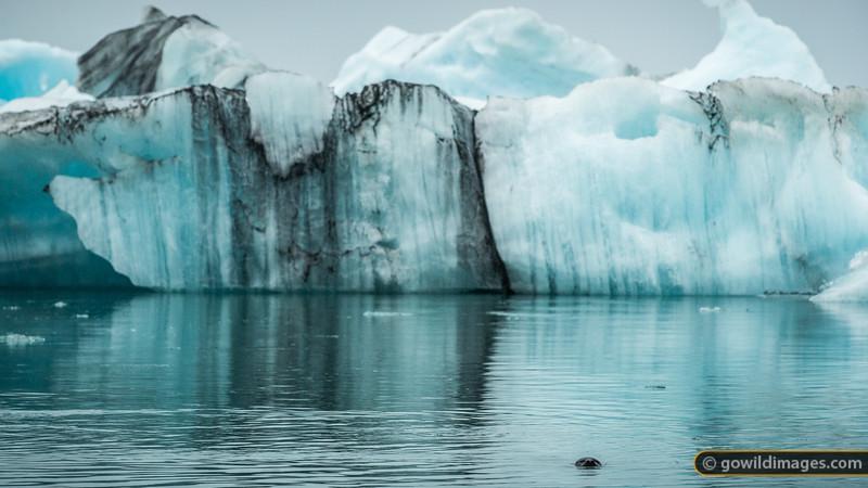 A common seal circles the icebergs of Jökulsárlón