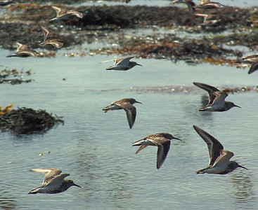 A flight of Dunlins