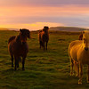 Golden Hour Of Icelandic Horses - The Golden Circle, Iceland