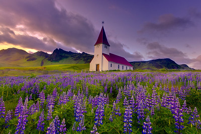 Lupines As Far As The Eye Can See - Vik, Iceland