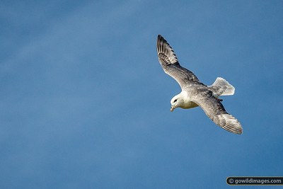 A Kittiwake in flight above the southern cliffs, Vestmannæyjar [cropped image]