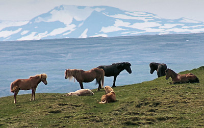 Icelandic Horses On Route 1, near Laugarbakki in the north.