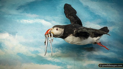 Puffin display, Sæheimar natural history museum, Heimæy, Vestmannæyjar [editorial use only]
