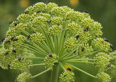 Angelica  Angelica archangelica - very aromatic, using since Viking times as an antibacterial herb.