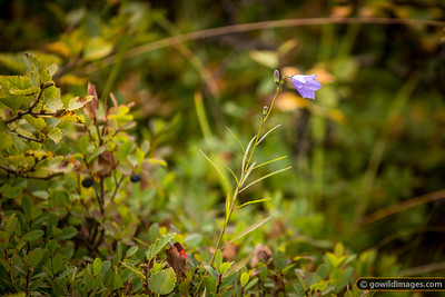 Autumn wildflower and Black Crowberries, Skaftafell