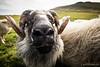 Icelandic sheep, Vestmannæyjar
