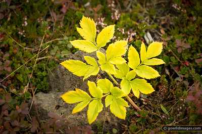 Only the hardest plants grow in old lava fields, including moss and wild berries.