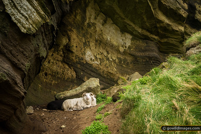 Free-roaming Icelandic sheep use a natural cave shelter halfway up the Vestmannæyjar crater