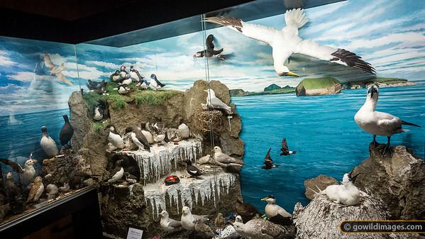 Bird display, Sæheimar natural history museum, Heimæy, Vestmannæyjar [editorial use only]