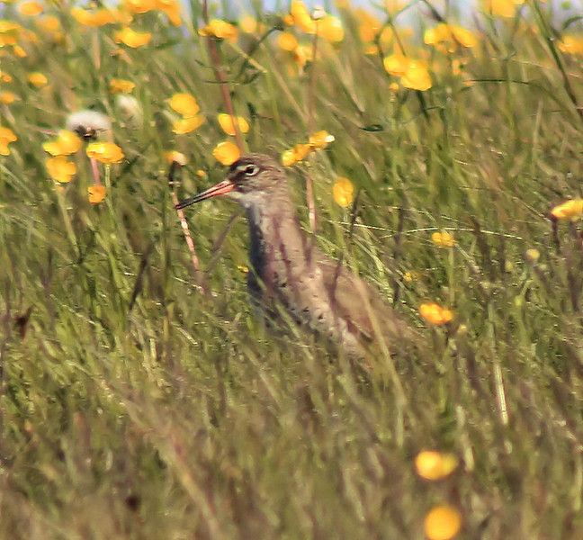 Redshank in buttercups