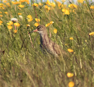 Redshank in buttercups Common bird in Iceland.  Noisy when you approach its breeding ground.