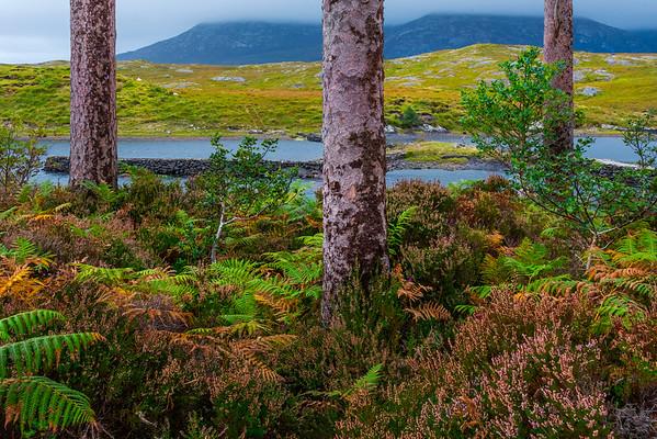 Foliage Life  - Derryclare Lough, Connemara Loop, County Galway, Ireland