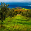 In The Middle Of The Orchards - Val d'Orcia Region, Tuscany, Italy