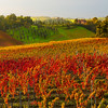 Fields Of Red Stand Proud In Autumn - Val d'Orcia Region, Tuscany, Italy