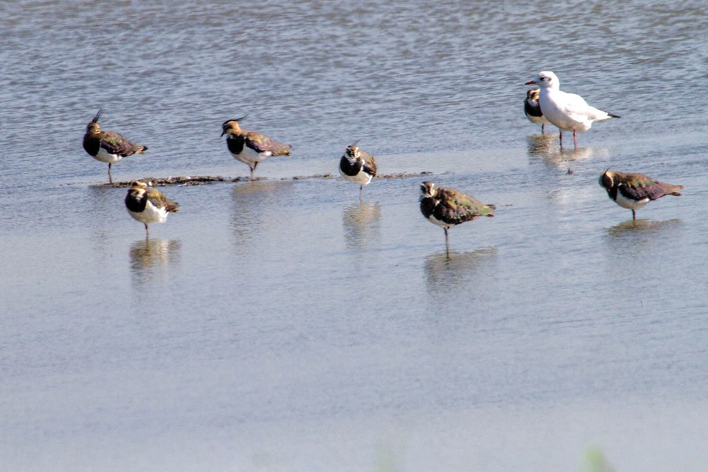 Lapwings and gull