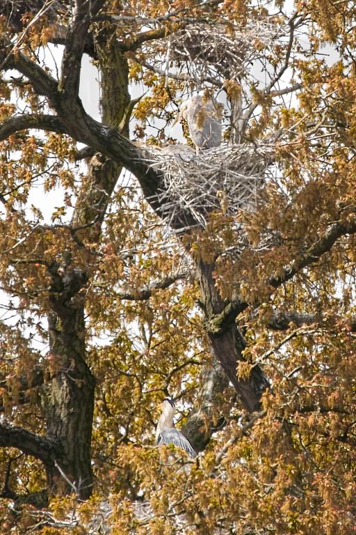 Grey Herons in Oak Trees
