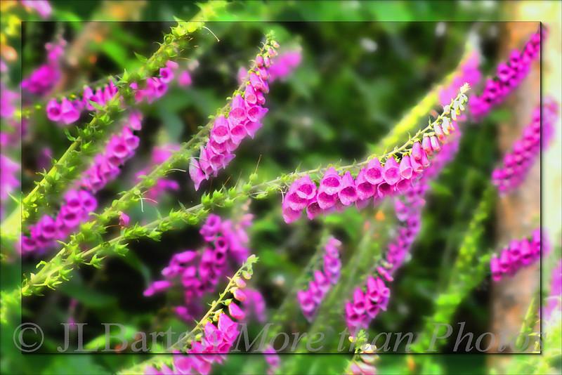 Purple Poison Foxglove  Digitalis purpurea Growing along a canal