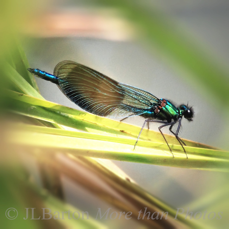 Banded demoiselle (Calopteryx splendens)  These shimmering blue dragonflies accompanied us along the canals