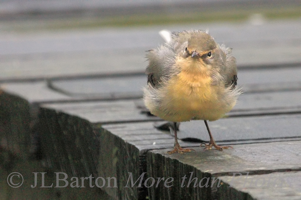 Soggy Bird 2010-11-02   This poor bird was thoroughly drenched and landed on the dock at Kirkintilloch, Scotland to shake itself dry.  [At least I only had to stand in the rain when I was driving the boat] The result after shaking and such: http://www.jerrybarton.eu/Landscapes/Canals/8068199_FK3HC#1074289916_orgGo   Many thanks for the comments on my shot of the Japanese Maple leaves.  Yes they really were that red, especially with the afternoon sun hitting them.