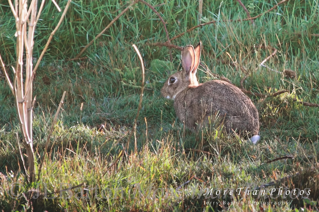 One of the numerous bunny rabbits - seen at dawn