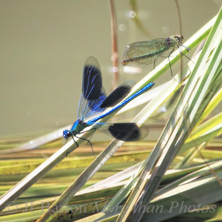 Banded demoiselle (Calopteryx splendens)  2011-07-23  the male is blue with dark spots - the female is green without spots.  Not the sharpest picture, but it shows both together.  These dragonflies accompanied us all along the canals in England during this trip.  For a sharper shot of just the male:  http://www.jerrybarton.eu/gallery/8068199_FK3HC#1395469728_fBtNLvP