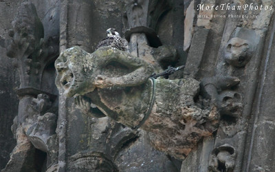 peregrine Falcon nest, Lincoln Cathedral