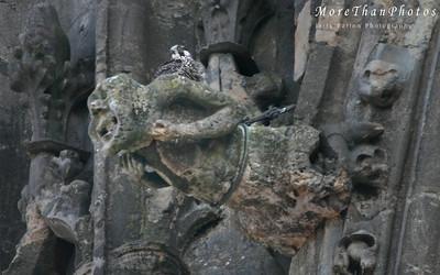peregrine Falcon nest, Lincoln Cathedral