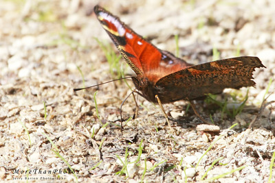 Peacock butterfly drinking