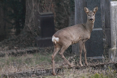 "Wild Life in Vienna 2013-03-14  This is a shot of a wild Roe Deer in Vienna's central cemetery.  The cemetery is large 2.5 square km (one square mile) and has many wild animals.  A shot of the buck is here: http://www.jerrybarton.eu/gallery/7986304_r9xtwT#!i=2407584704&k=qfvFLMc&lb=1&s=A   These small deer are common throughout Europe, and in German are not called 'deer' ('Hirsch') but rather 'Reh'.  Especially here in the ""old Jewish section"", it is quiet and overgrown.  This section had become full even before the second world war, and extensive damage was done to it during the war - from the Nazis and from bombs and from Soviet troops.  And of course for many graves, there were no remaining families to take care of the sites.  Since 1991 a volunteer organization has started to repair and maintain the damaged memorials.  Thanks for the comments on the basking turtles.  Because of released turtles like these, the common mid-European swamp turtle is struggling."