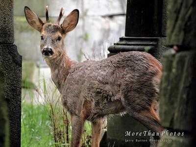 Rainy Deer