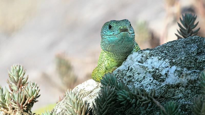 Emerald Lizard