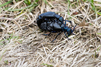 Oil Beetles