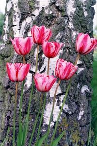 Tulips Feltwell (33934874)