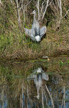 Great Blue Heron sunning itself