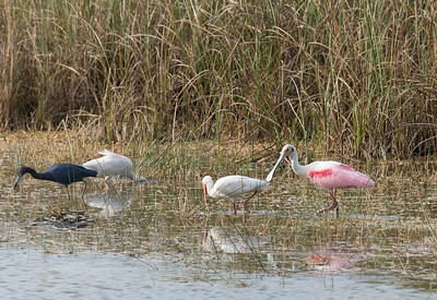 Roseate Spoonbill, White Ibis, and Little Blue Heron