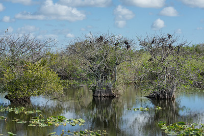 Black Vultures and Anhingas