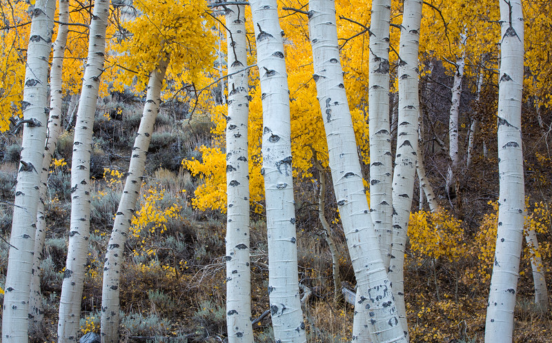 Yellow Leaves & Aspens