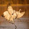 Sandhill Cranes Landing