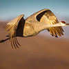 Sandhill Crane flying out to feed
