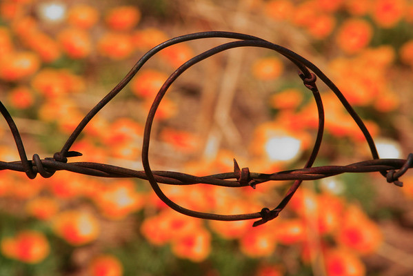 """""""The barbed wire and the california poppies"""", Organ mountains, NM"""