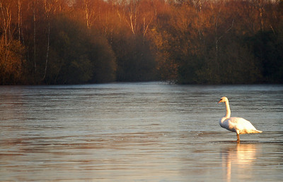 Swans can walk on water!
