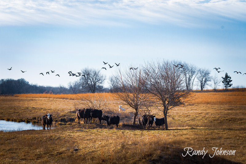 Cows and geese