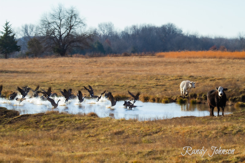 Cows and geese-6