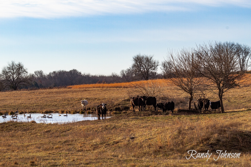 Cows and geese-7